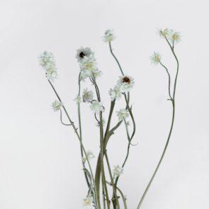 Сухоцвет Аммобиум, вес грамм