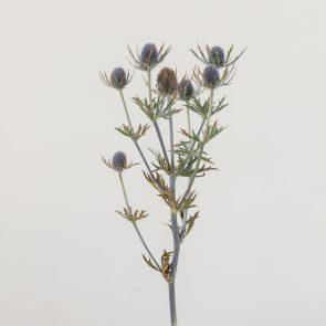 Сухоцвет Эрингиум