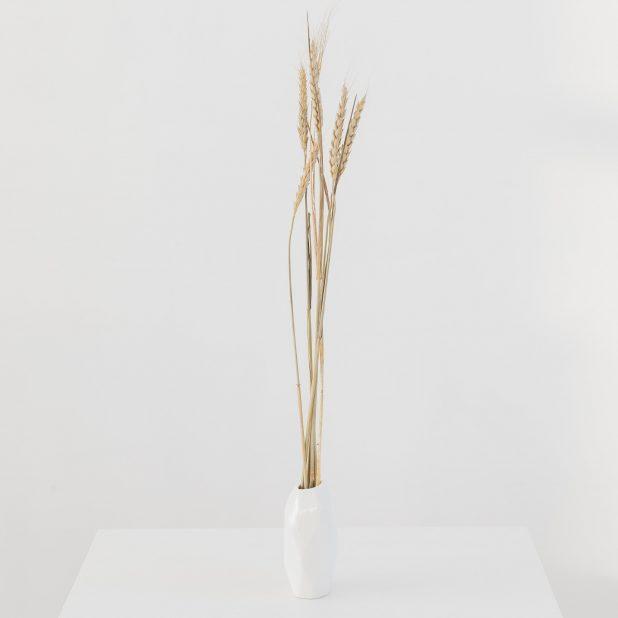 Сухой колос пшеницы